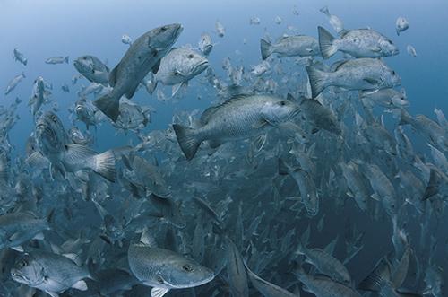 Cubera snappers spawning, Gladden Spit, Belize