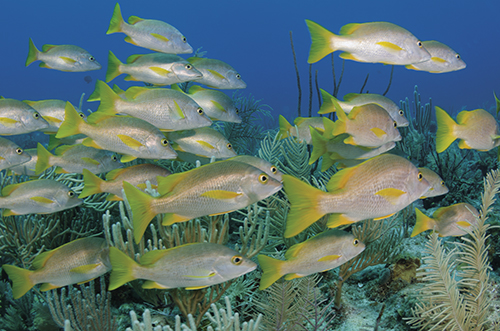 Schoolmaster snappers, North Wall, Belize