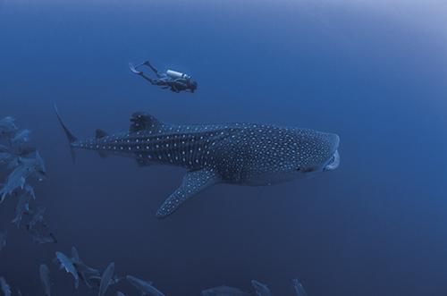 Whale shark, Gladden Spit, Belize