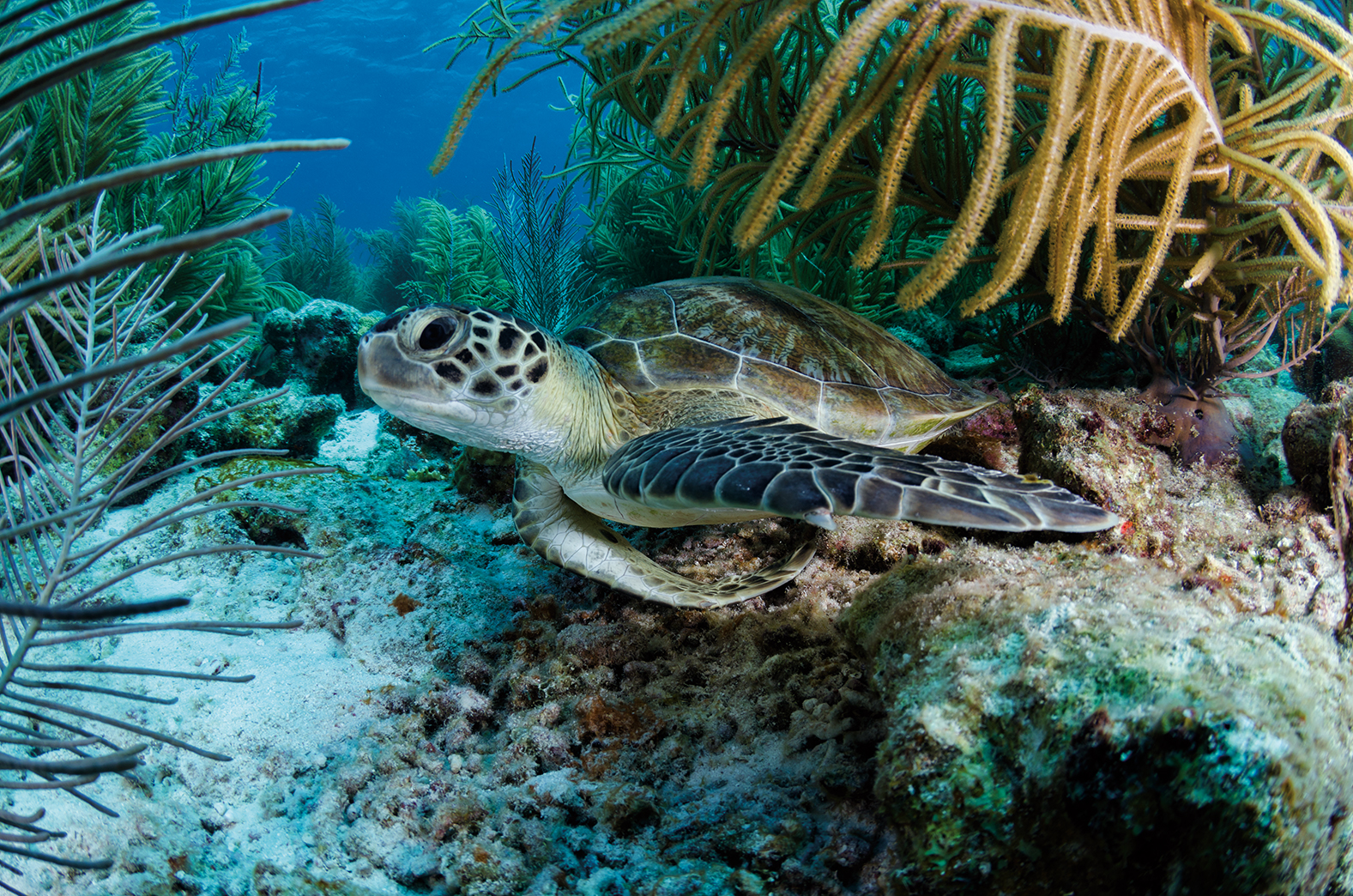Green Turtle, Bonaire