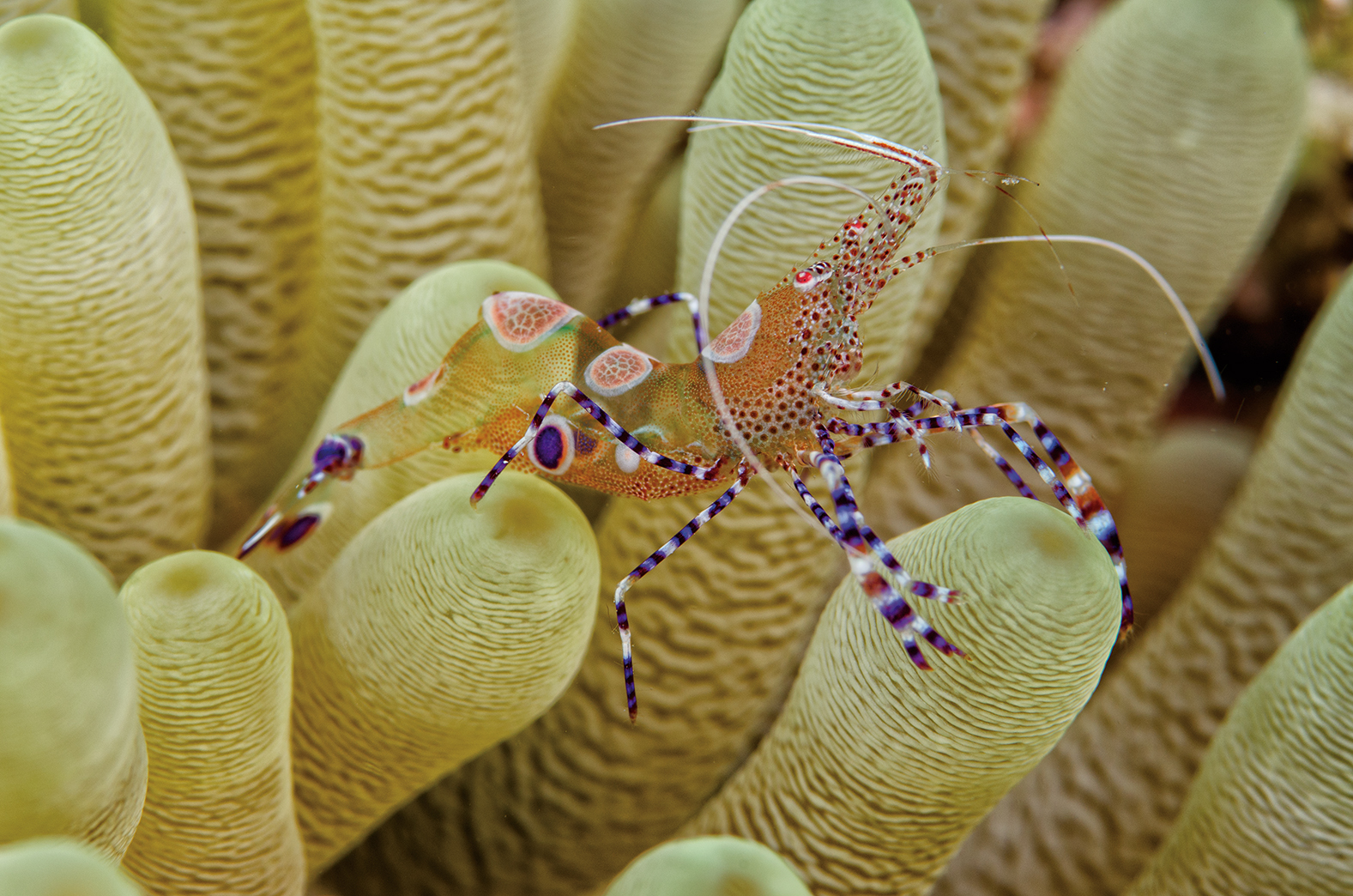 Anemone shrimp at Something Special, Bonaire