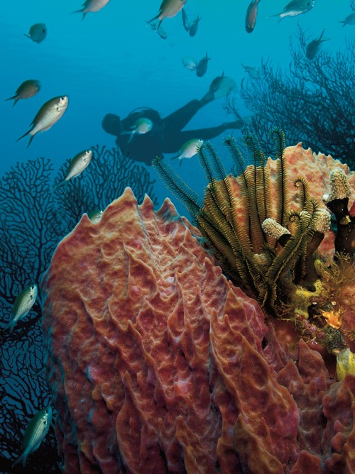 Saint Lucia scuba diving, Barrel sponge, golden crinoids, Solomon Baksh, Blue magazine, gorgonian