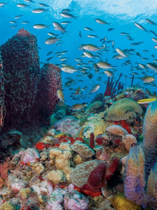 Saint Lucia diving, barrel sponges, Trou Diable dive site, reefscape, brown chromis, Solomon Baksh, Blue magazine,