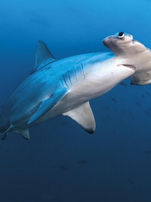 Hammerhead Shark, Alcyone, Cocos Island, Costa Rica