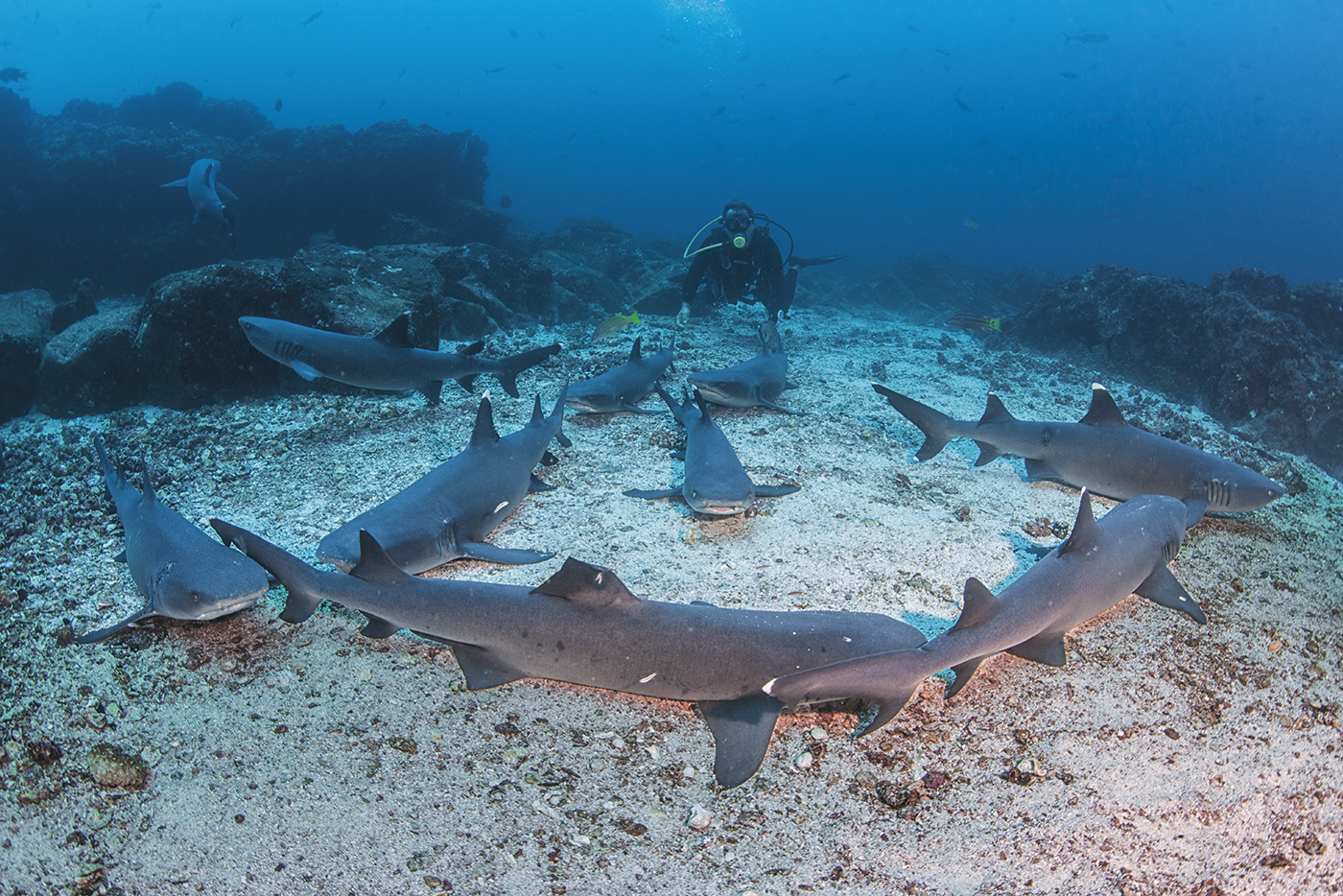 Whitetip sharks, Cocos Island, Costa Rica