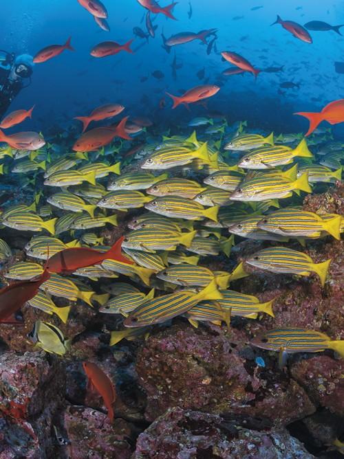 Blue-and-gold snapper, Big Dos Amigos, Cocos Island