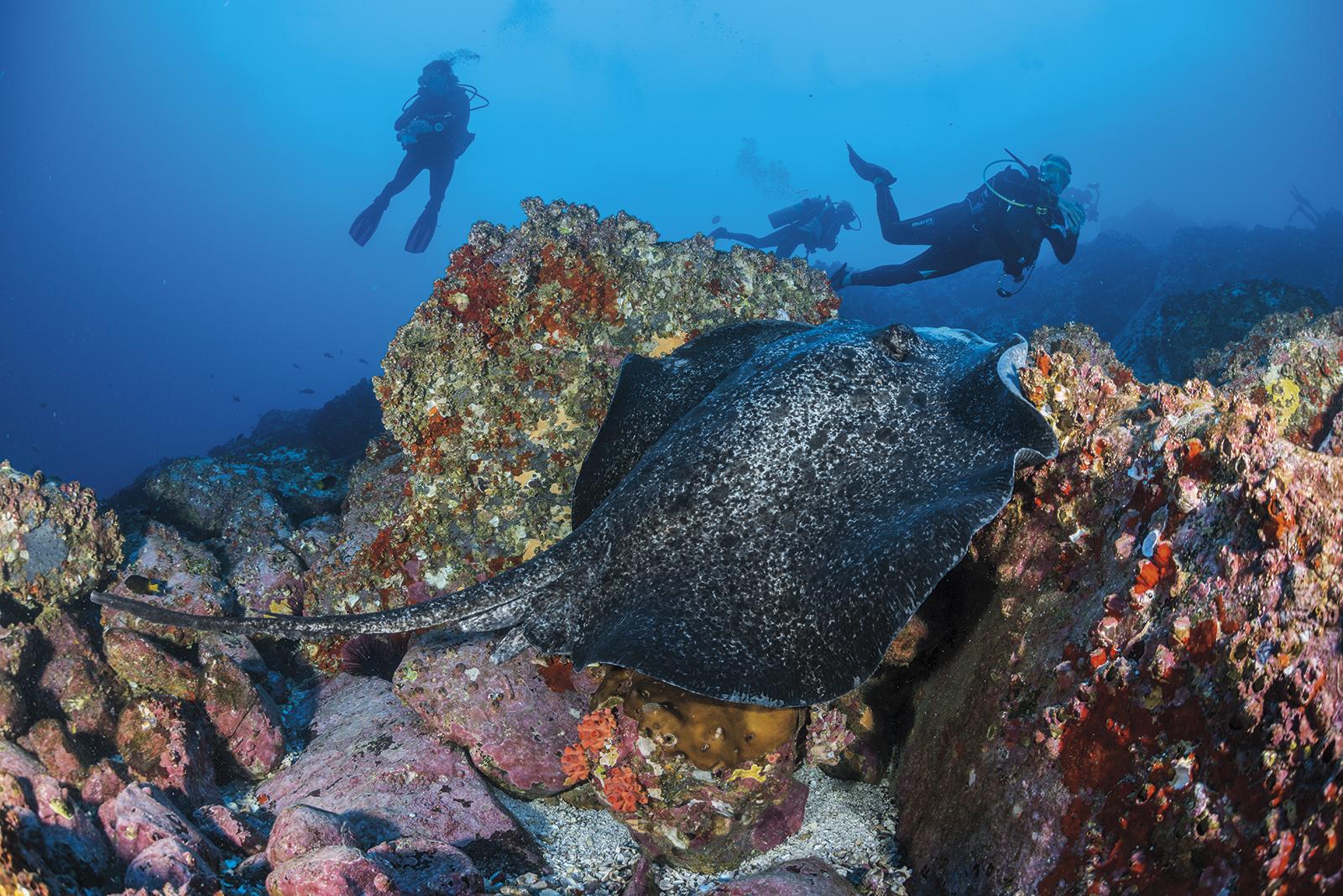 Marbled ray, Small Dos Amigos,Cocos Island, Costa Rica
