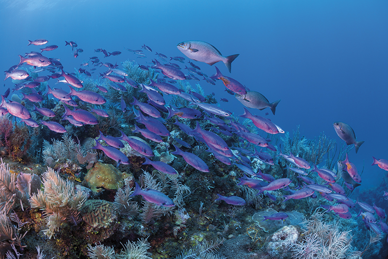 Creole wrasse, purple Caribbean fish, Guanaja, Mestizo Reef, Honduras, Solomon Baksh, Blue magazine