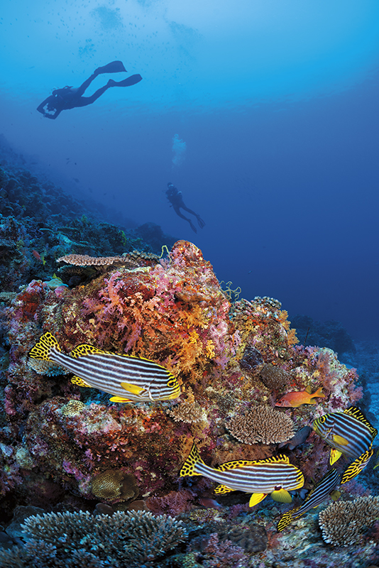 Maldives diving, Oriental Sweetlips snapper