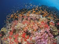 Maldives diving, Golden Wall, anthias