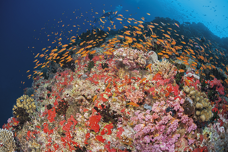 Maldives diving, Golden Wall, anthias