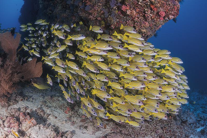 Blue-striped snapper, Maldives diving, Blue magazine, Solomon Baksh
