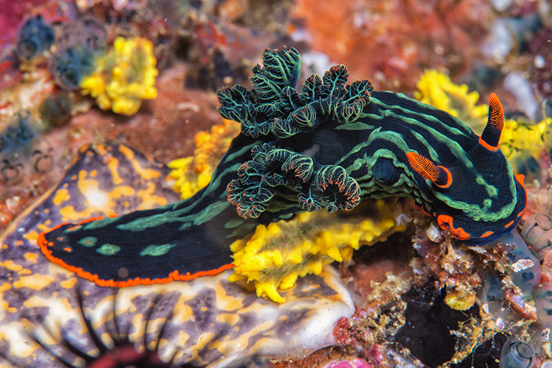 Nembrotha kubaryana, dorid nudibranch in Anilao, Phillipines