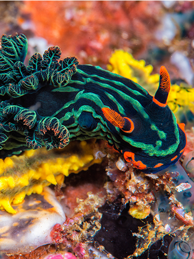 Nembrotha kubaryana, neon-colored nudibranch, Anilao, Philippines, Solomon Baksh, Blue magazine
