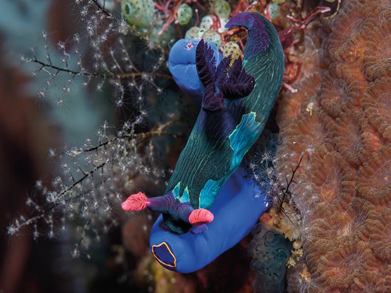 Nembrotha chamberlaini nudibranch, Clavellina moluccensis, blue sea squirt tunicate, Solomon Baksh, Blue magazine, Anilao, Philippines
