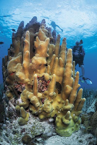 Cuba diving, Pillar coral at Cueva del pulpo, Dendrogyra cylindrus, Jardines de la Reina, Solomon Baksh, Jardines Aggressor I, Blue magazine