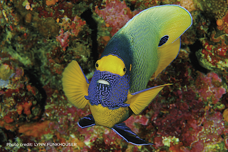 Yellowmask angelfish, Tubbataha, Philippines, Pomacanthus xanthometopan, Lynn Funkhouser, Blue magazine