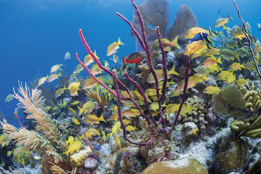 Diving Cuba, Jardines de la Reina, Cueva del Pulpo, Cayo Peidra Grande, sea fans, stoplight parrotfish, rope sponge, grunts, gorgonians, nurse sharks, shallow-water black coral, Solomon Baksh, Jardines Aggressor, Blue magazine,