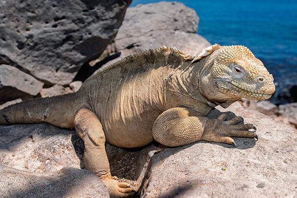 Galápagos Islands, Santa Fé land iguana, Conolophus pallidus, yellow iguana, Solomon Baksh, Blue magazine, Sandra Baksh