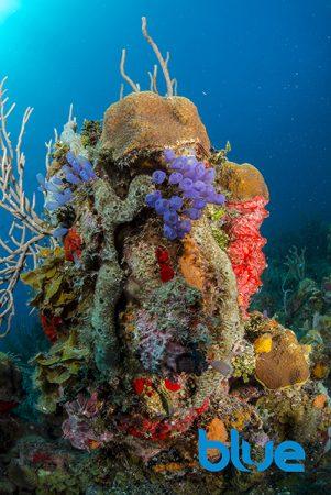 Blue magazine, Solomon Baks, Bluebell tunicate, Clavelina puertosecensis, Roatán Aggressor, colonial tunicates, Caribbean tunicates, Honduras tunicates