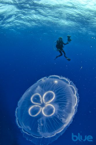 Moon Jelly, Belize scuba diving, Aurelia aurita, Solomon Baksh, Blue magazine