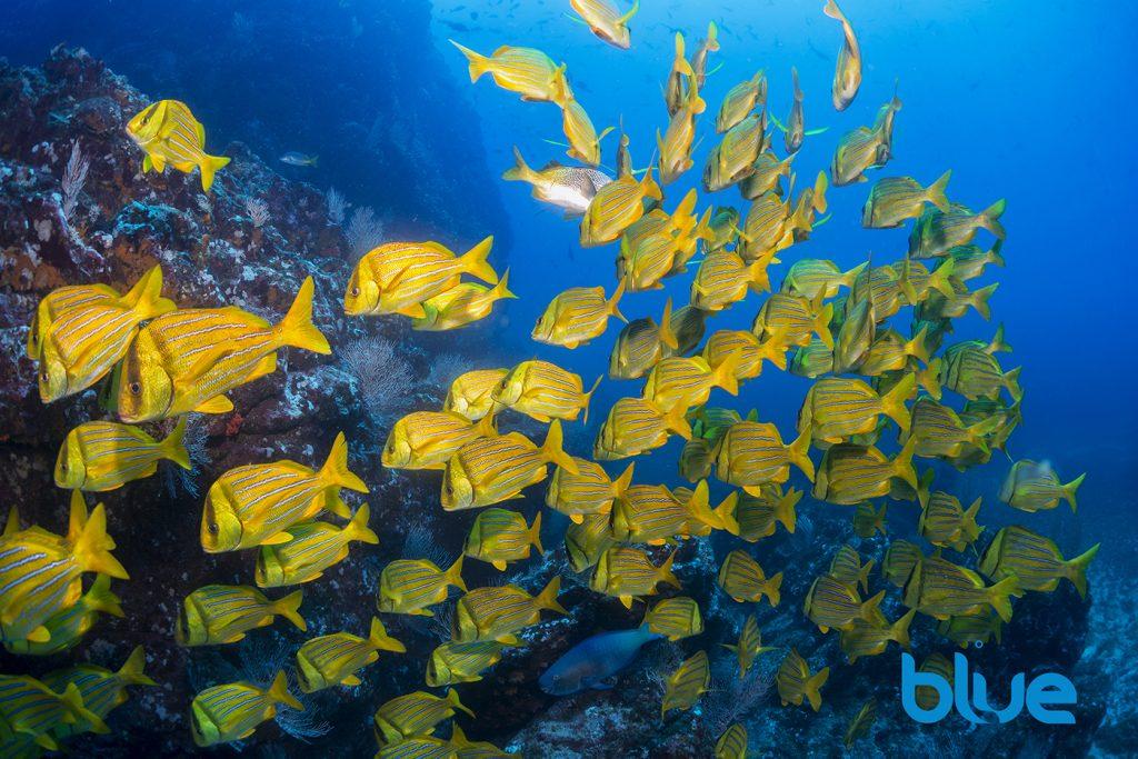 Caño Island, Costa Rica, Diving Caño Island and Coiba Island, scuba diving, Panamic Porkfish, Solomon Baksh, Blue magazine, El Faro dive site, Ansiotremus taeniatus
