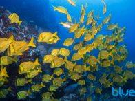 Caño Island, Costa Rica, scuba diving, Panamic Porkfish, Solomon Baksh, Blue magazine, El Faro dive site, Ansiotremus taeniatus