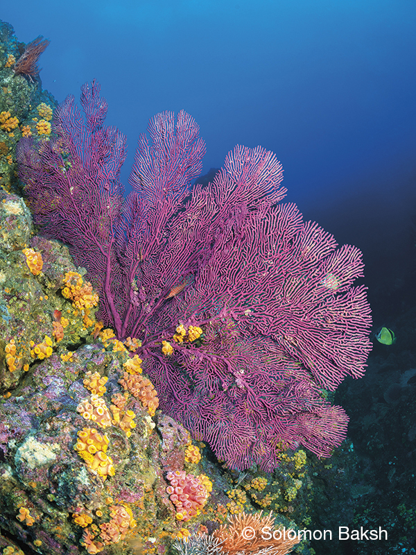 Purple sea fan, San Cristobal, Caño Island, Costa Rica, Solomon Baksh, Blue magazine,