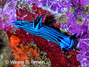 Galápagos Islands, Tambja mullineri, endemic nudibranch in Galápagos Islands, blue nudibranch with longitudinal stripes