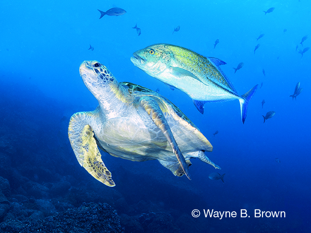 Galápagos Islands, Green sea turtle, bluefin trevally, Wayne B. Brown, Blue magazine, Galápagos Aggressor yacht,