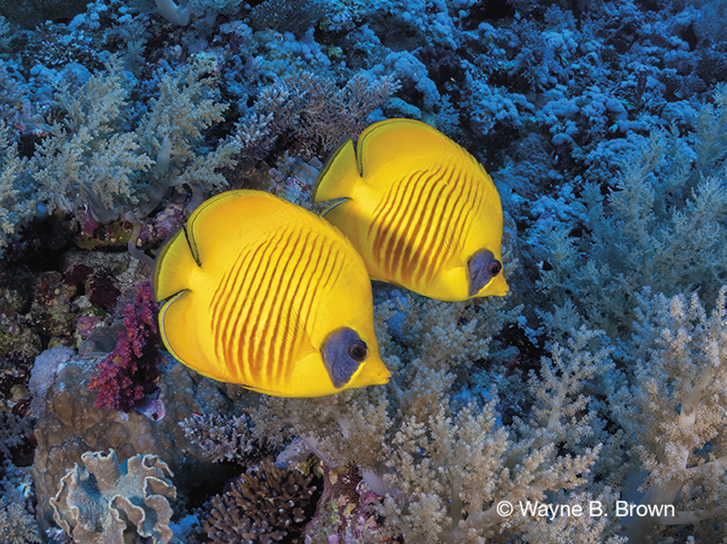 Blue-cheeked Butterflyfish, purple blotch on eye of butterflyfish, pair of yellow butterflyfish,Jordan diving, Red Sea diving, Wayne B. Brown, Blue magazine, Aggressor Fleet