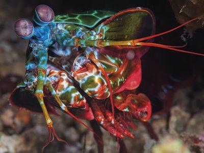 Peacock Mantis, Anilao, Philippines, Odontodactylus scyllarus, Solomon Baksh, Blue magazine, Raptorial appendage, mantis shrimp,