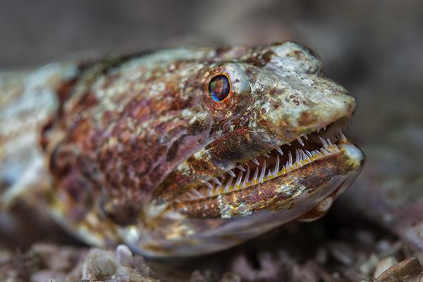 Calico Lizardfish, Synodus lacertinus, Lizardfish, Chile Lagarto, Blue magazine, Solomon Baksh, scary fish, fish with sharp teeth, Costa Rica diving,