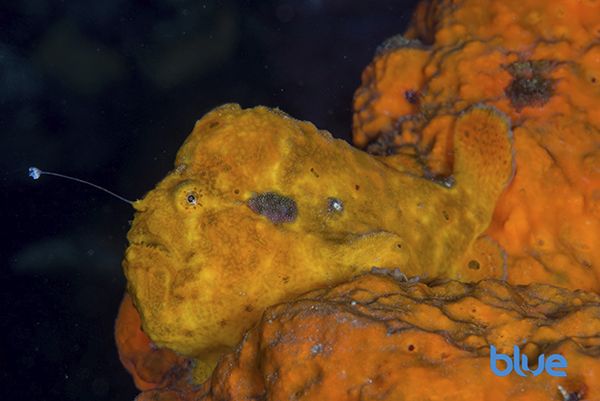 Yellow Longlure Frogfish, Antennarius multiocellatus, occelated spots mimicking sponge openings, odd-shaped fish, ugly fish, camouflaged fish among sponges, benthic fish, Solomon Baksh, Blue magazine