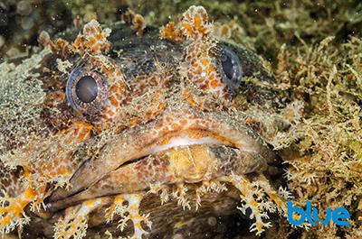 Sapo bocon, Amphichthys crytocentrus, fleshy appendages from chin of fish, cirri on toadfish, ugly fish, camouflaged benthic fish, Solomon Baksh, Blue magazine
