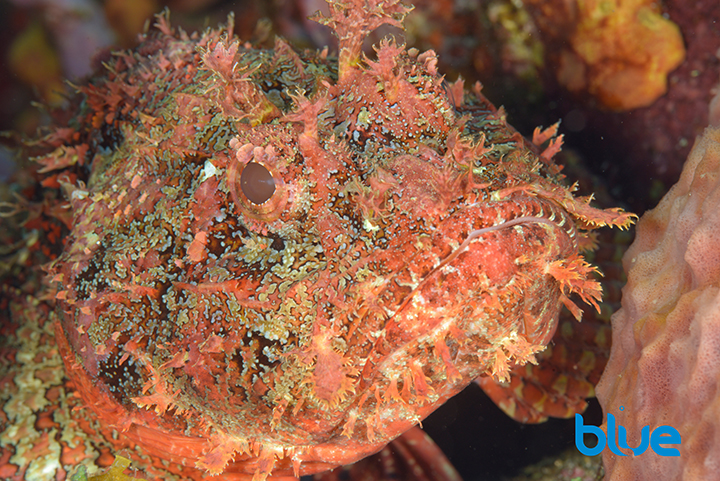 Spotted Scorpionfish, Scorpaena grandocornis, Tobago venomous fish, fish with venomous spines, fish with bushy barbels, ugly fish, red, scary fish, camouflaged fish, Solomon Baksh, Blue magazine,