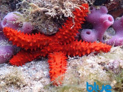 Red Thorny Sea Star, Echinaster echinophorus, Caribbean red sea star, echinoderm, Priest Bay, Chacachachare, Trinidad, Blue magazine, Solomon Baksh