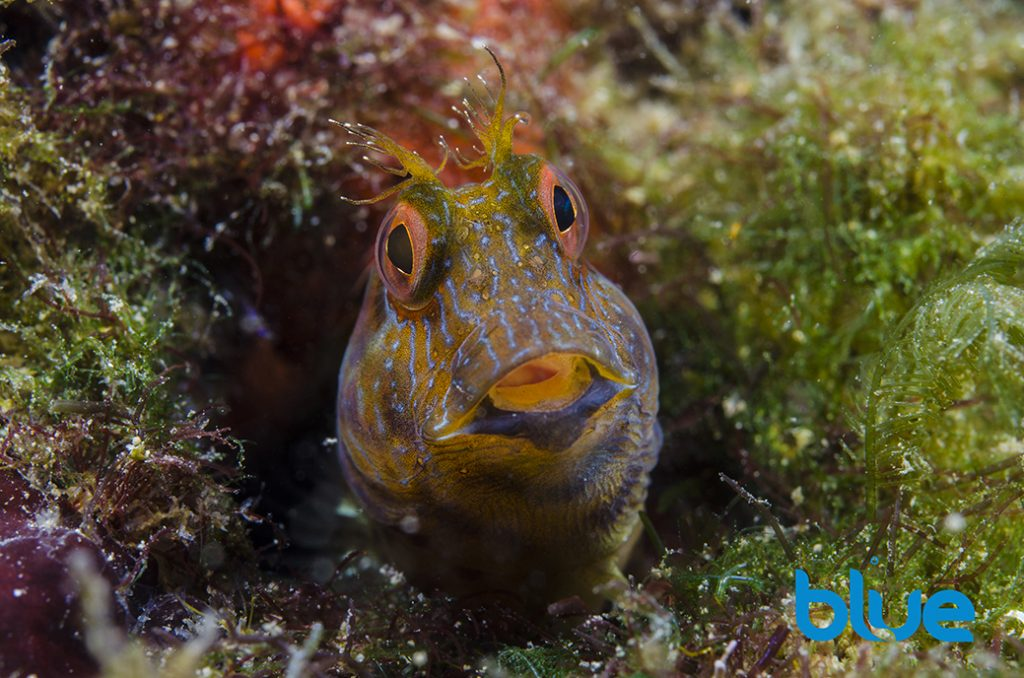 Seaweed blenny, Parablennius marmoreus, colorful fish, cirri, striped facial markings